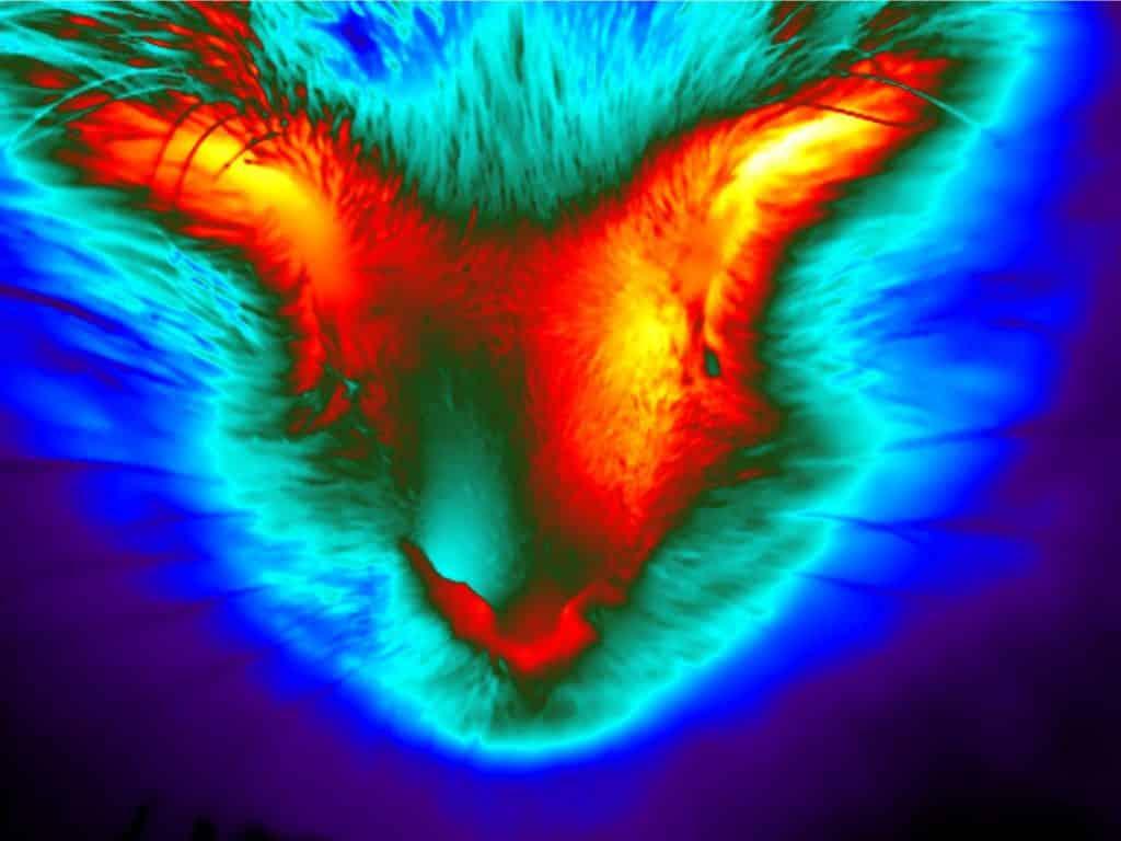 Thermografie bij honden, katten en paarden is een toepassing van thermografie